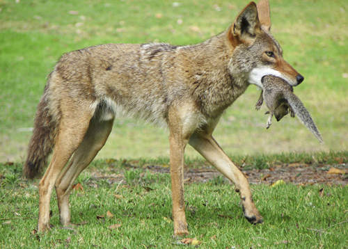 San Diego Canyons Mix Coyotes and House Cats